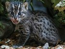 Dvouměsíční kotě už je pěkná šelma, maso žere z jedné misky se svojí mámou. (kočka rybářská, Zoo Praha)