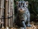 Zvědavý kukuč dvouměsíčního kotěte (kočka rybářská, Zoo Praha)