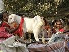 Během dvoudenního rituálu Nepálci zabijí klidně i stovky tisíc zvířat. Letos se jim tradici rozhodli překazit ekologičtí aktivisté, kteří našli podporu i u indických úřadů.