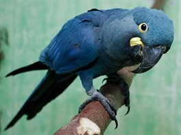 Tak� ara kobaltov� se do�k� nov�ho domova v R�kosov� pavilonu, jeho� z�kladn� k�men bude o prvn� adventn� ned�li odhalen v Zoo Praha.