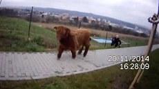 """Policisté a strá�níci v Brn� chytali """"bizona"""""""
