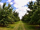 Jacksons orchards - třešňová alej táhnoucí se do nekonečna