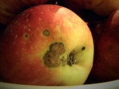 5 Baumannova reneta nese jméno majitele a alsaského správce ovocnářských školek dobyvačného Napoleona.