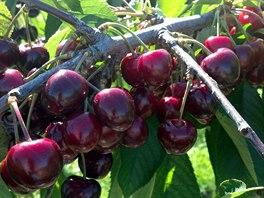 Třešně - odrůda Lapins(tmavé chrupky)