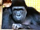Samice Moja (2004) byla prvním gorilím mládětem narozeným v Praze. Od podzimu roku 2011 žije ve španělském Cabárcenu, kde založila vlastní rodinu.