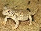 První mládě trnorepa mezopotámského odchované v zoologické zahradě. Tímto úspěchem se letos mohou pochlubit chovatelé plazů v pražské zoo.