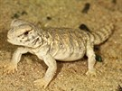 Prvn� ml�d� trnorepa mezopot�msk�ho odchovan� v zoologick� zahrad�. T�mto �sp�chem se letos mohou pochlubit chovatel� plaz� v pra�sk� zoo.