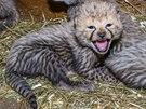 Gepardí koťata zatím vyrůstají v zázemí, kde jsou umístěna se svou matkou. Na jaře se na ně mohou návštěvníci těšit ve venkovním výběhu,