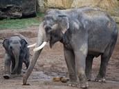 Téměř dvouletá samička Sita samce Ankhora s neuvěřitelnou chutí a zarputilostí provokuje.
