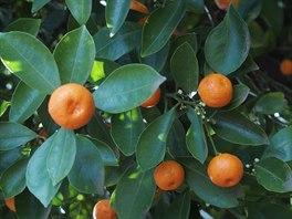 Dcera zdědila matčiny zahradnické geny. Vypěstovala i cumqoat - japonský trpasličí pomeranč.