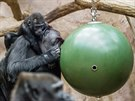 Kamba a Nuru s novým hlavolamem, ke kterému jsou zatím gorily dost nedůvěřivé.
