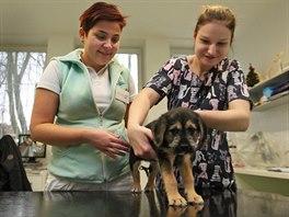 Veterin��ka Jana Baro�ov� (vlevo) s veterin�rn� sestrou Dominikou Folt�novou p�edstavuj� n�kolikam�s��n�ho k��ence Roz�rku, kterou n�kdo vyhodil k popelnic�m.
