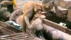 Opice v Indii zachra�uje druhou opici, kterou zasáhl elektrický proud. (20....